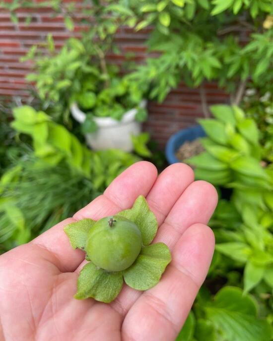 柿の子.jpg