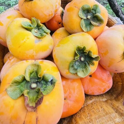柿の収穫がいよいよSTARTです‼️
