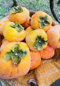 2021たねなし柿収穫①.jpg