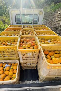 2021たねなし柿収穫③.jpg